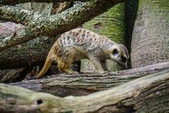Ein Wiesel, der in den Zoo geht lizenzfreie stockbilder