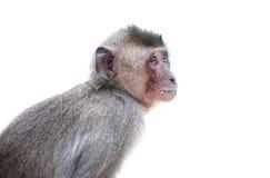 Ein wilder Affe Stockfotografie