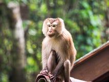 Ein wilder Affe, der auf dem Dach an Nationalpark Khao Yai, Tha sitzt Lizenzfreies Stockbild