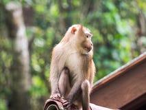 Ein wilder Affe, der auf dem Dach an Nationalpark Khao Yai, Tha sitzt Stockfotografie