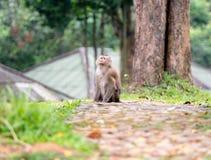 Ein wilder Affe, der aus den Grund an Nationalpark Khao Yai, T sitzt Lizenzfreie Stockfotografie