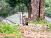 Ein wilder Affe, der aus den Grund an Nationalpark Khao Yai, T sitzt Stockfotos