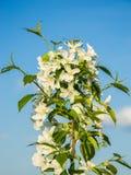 Ein wilder Apfelbaum Lizenzfreie Stockfotografie