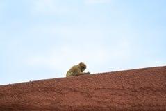 Ein wilder barbery Affe des Gibraltare-Naturreservats, das über der roten Wand mit bewölktem Himmel am Hintergrund sitzt Stockbild