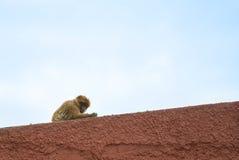 Ein wilder barbery Affe des Gibraltare-Naturreservats, das über der roten Wand mit bewölktem Himmel am Hintergrund sitzt Stockfotografie
