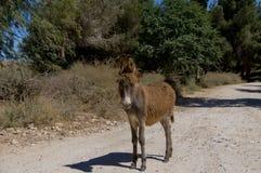 Ein wilder brauner Esel steht auf der Straße im Wald stockfoto