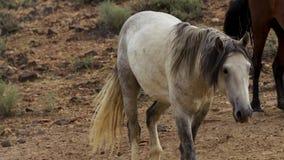 Ein wilder Buchtmustang der wildes Pferdeherde Onaquai In der Wüste von Nevada stoisch stehen, Vereinigte Staaten stockbilder