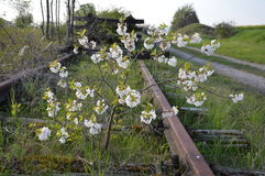 Ein wilder Busch wächst und blüht mitten in einer Bahnlinie entlang den Bahnstrecken Die Linie wird jedoch geschlossen und Lizenzfreie Stockbilder