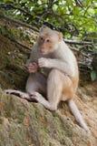 Ein wilder dummer Albino Macaque lizenzfreies stockfoto