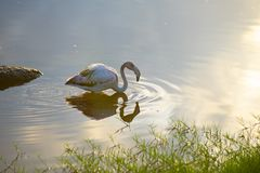 Ein wilder Flamingo, reflektiert im Wasser, auf Galapagos lizenzfreies stockbild