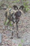 Ein wilder Hund Botswana Stockbild