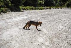 ein wilder kleiner grauer und roter Fuchs, der geht und betrachtet stockfotografie
