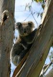 Ein wilder Koala Stockfoto