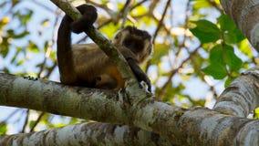 Ein wilder schwarzer gestreifter Capuchin u. ein x28; Cebus-lebidinosus& x29; alias bärtiger Capuchin, Abschluss oben, gegen ein  lizenzfreie stockfotografie