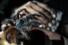 Ein wilder Tarantel sitzt auf einer Hand im Amazonas stockfotografie