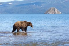 Ein wildes Braunbärgraubärfischen Die Bärenmärkte im See im Sommer lizenzfreie stockbilder
