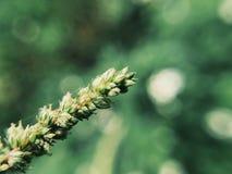 Ein wildes Gras Lizenzfreie Stockbilder