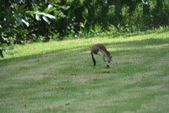 Ein wildes Hermelin nimmt ein Blatt auf dem Rasen in Angriff Stockfotografie