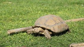 Ein wildes Schildkrötenbedauern, das zu viel Gras isst stock footage