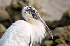 Ein wildes Storch-Porträt Lizenzfreie Stockbilder