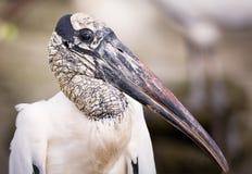 Ein wildes Storch-Porträt Lizenzfreies Stockbild
