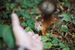 Ein wildes tapferes Eichhörnchen mit einem flaumigen Endstück schaut mit Neugier wh Stockfotos