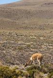 Ein wildes Vicunja lässt weiden lizenzfreies stockbild