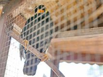 Ein wildes Vogel Beo eingeschlossen in einem Käfig, der Hoffnungslosigkeit und verlierende Freiheit im Leben symbolisiert stockfotografie