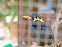 Ein wildes Vogel Beo eingeschlossen in einem Käfig, der Hoffnungslosigkeit und verlierende Freiheit im Leben symbolisiert lizenzfreie stockfotografie