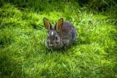 Ein Wildkaninchen, das Gras isst Stockbilder