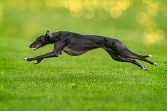 Ein Windhund ist das schnelle runnig Stockbilder