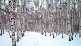 Ein Winterbirkenbaumwald Stockfotos