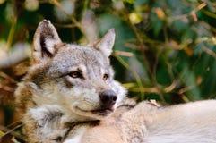 Ein Wolf Stockbild