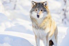 Ein Wolf, der im schönen Winterwald steht Stockbild