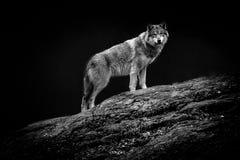 Ein Wolf, der neugierig, Schweden anstarrt stockbild