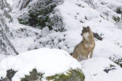 Ein Wolf im böhmischen Wald Stockbild