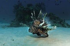 Ein Wunder im Wasser in den Malediven, Stachelfische, die auf die Unterseite des Meeres reisen Stockfotos