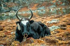 Ein Yak macht Pause Stockbilder