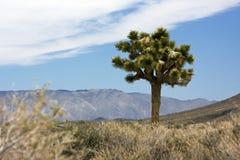 Ein Yucca nahe Death Valley Stockfotos