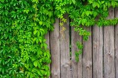 Ein Zaun hergestellt vom Holz mit gelocktem Efeu der wilden Trauben Stockbilder