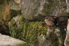 Ein Zaunkönigküken gerade aus dem Nest heraus Lizenzfreie Stockfotografie