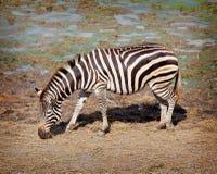 Ein Zebra Lizenzfreie Stockbilder
