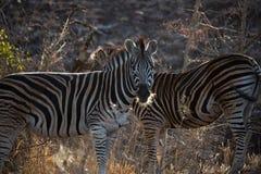 Ein Zebra, das Vorwärtsstellung im trockenen Gras gegenüberstellt Stockfotos