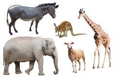 Ein Zebra, ein Elefant, Schafe, ein Känguru und eine Giraffe lokalisiert Stockfotografie