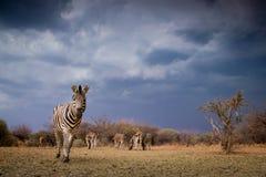 Ein Zebra Equus Quagga, der die Kamera betrachtet lizenzfreie stockfotos