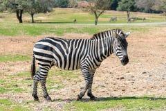 Ein Zebra geht die Erde an einem sonnigen Tag und schaut herum Stockfotografie