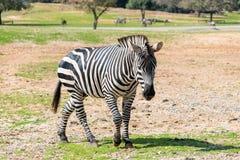 Ein Zebra geht die Erde an einem sonnigen Tag und schaut herum Lizenzfreie Stockbilder