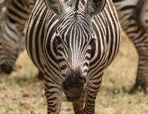 Ein Zebraabschluß oben Lizenzfreies Stockfoto