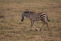Ein Zebrababy, das einen Spaziergang macht Stockfoto