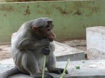 Ein zerreißender Stamm des Affen am Zoo Lizenzfreies Stockbild